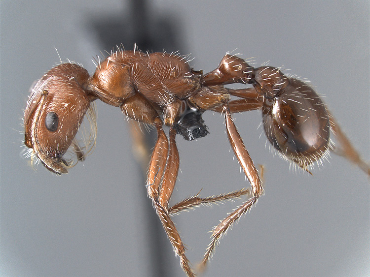 pogonomyrmex-californicus-side