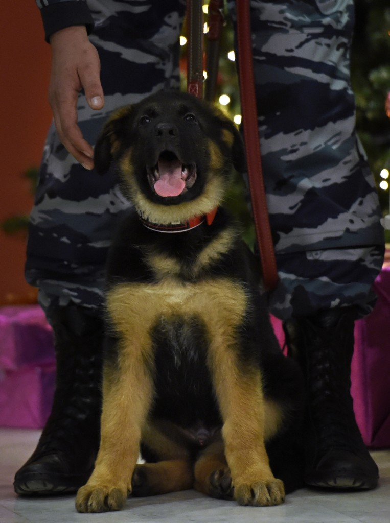 A German shepherd puppy named Dobrynya is seen during a ceremony at the French embassy in Moscow on December 7, 2015. Russia on December 7 handed over a German shepherd puppy named Dobrynya to France in a gesture of solidarity after a police dog named Diesel was killed during a raid on jihadists linked to the Paris attacks in Saint-Denis, suburban Paris, on November 18. AFP PHOTO / YURI KADOBNOV / AFP / YURI KADOBNOV
