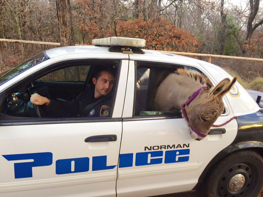 donkey-rides-cop-car-police-officer-kyle-canaan-1