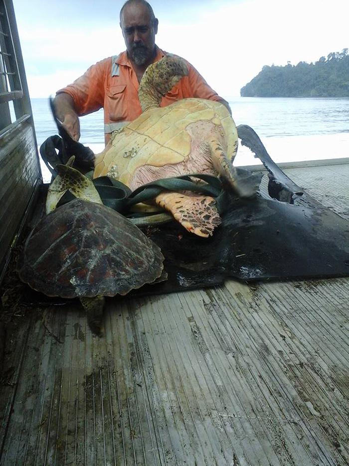 man-saves-sea-turtles-arron-culling-papua-new-guinea-5