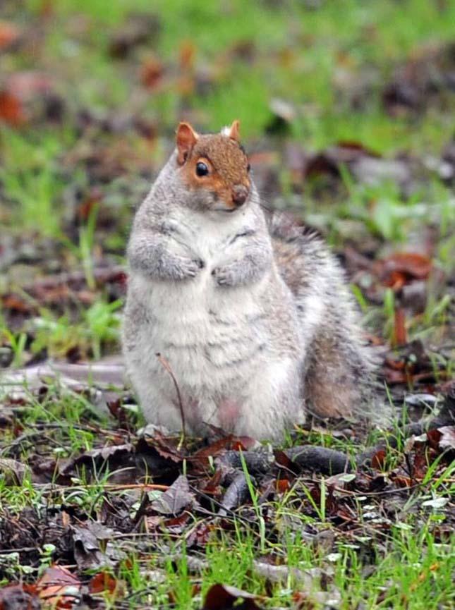 Fat squirrel in Bute Park, Cardiff.nnnnnnn
