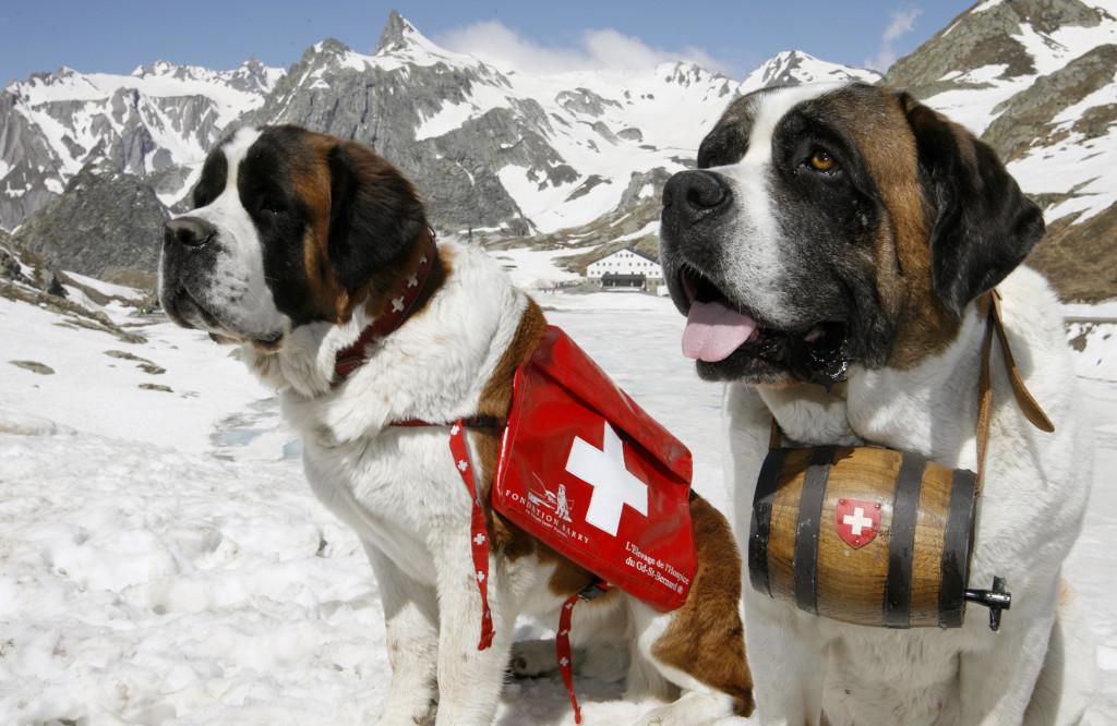 Bernáthegyi hegyi mentők. (St. Bernard)