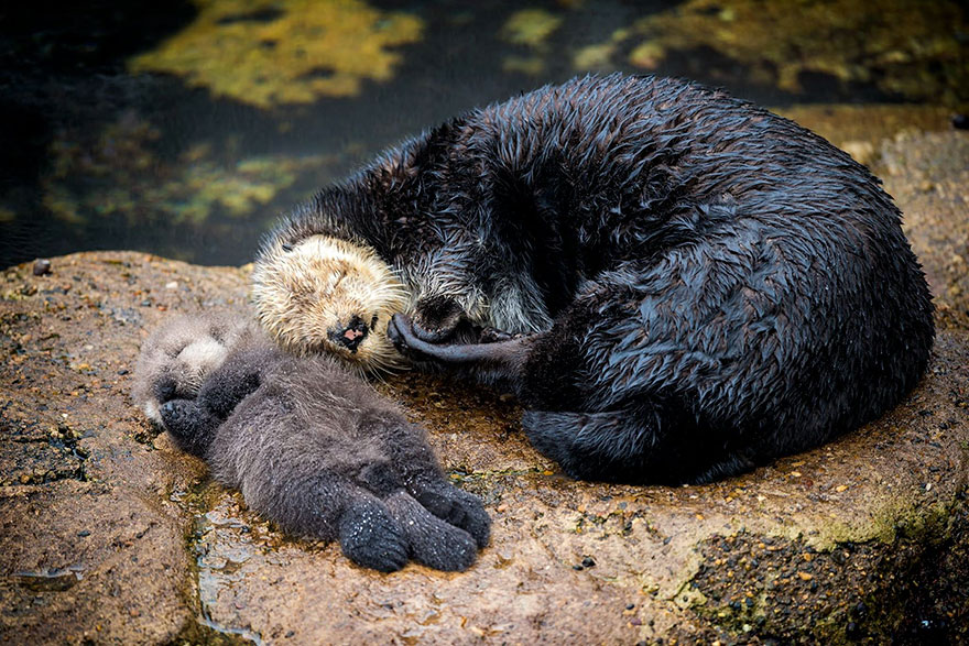 baby-otter-sleeps-mother-belly-monterey-bay-aquarium-12