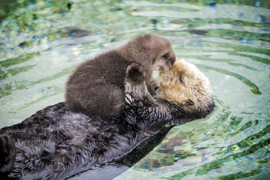 baby-otter-sleeps-mother-belly-monterey-bay-aquarium-21