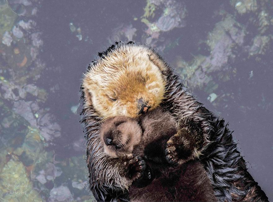 baby-otter-sleeps-mother-belly-monterey-bay-aquarium-3