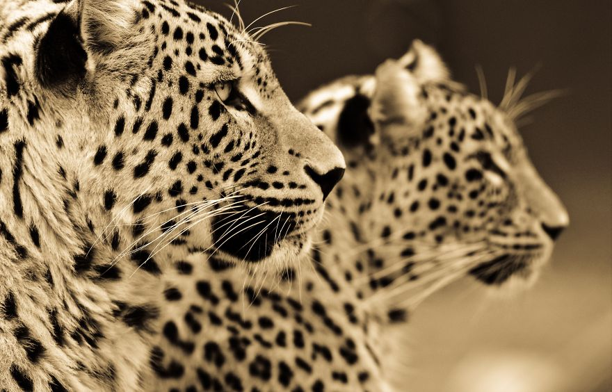 big-cats-ive-spent-10-years-photographing-these-wild-and-loving-creatures-11__880