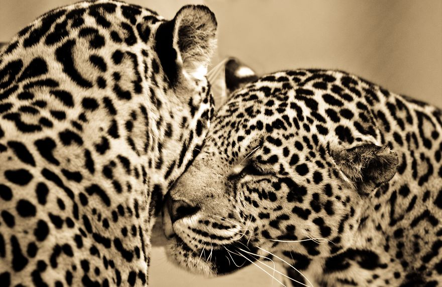 big-cats-ive-spent-10-years-photographing-these-wild-and-loving-creatures-7__880