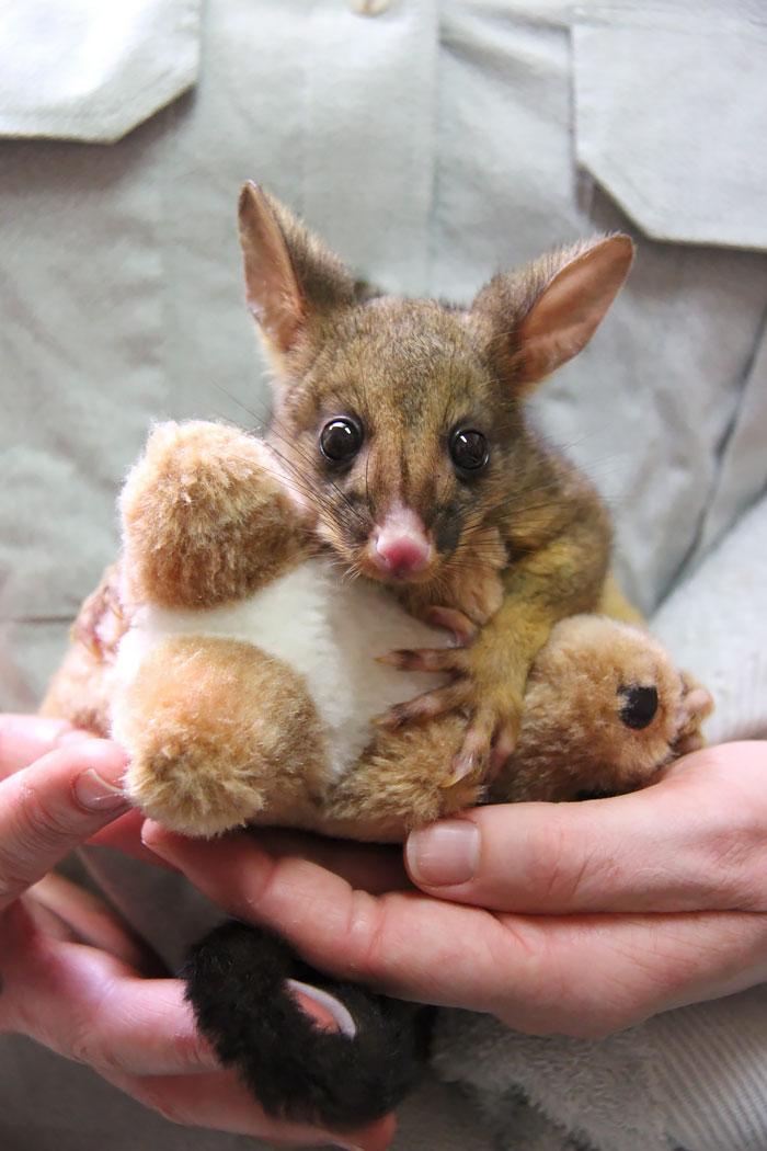 cute-possums-301__700