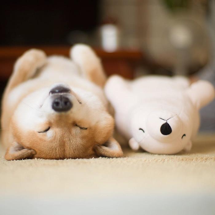 dog-shiba-inu-sleeps-teddy-bear-same-position-maru-1 (1)