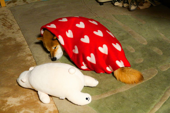 dog-shiba-inu-sleeps-teddy-bear-same-position-maru-16