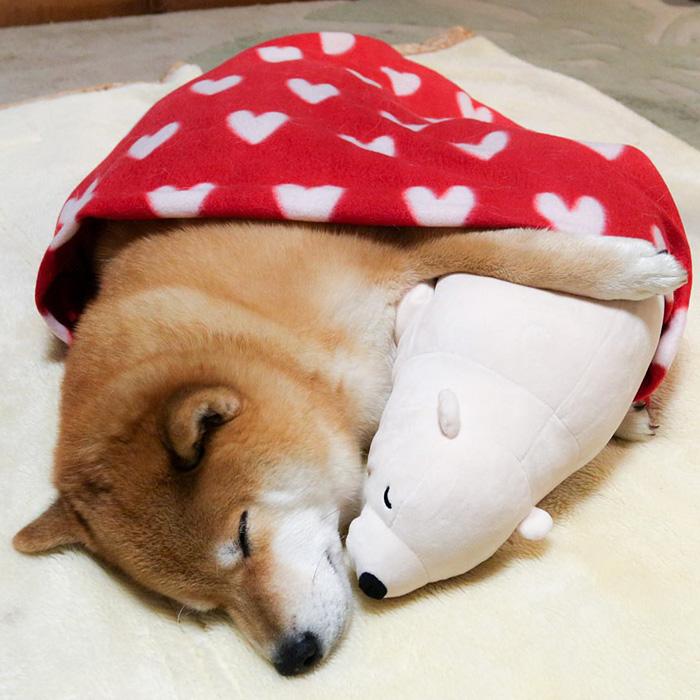 dog-shiba-inu-sleeps-teddy-bear-same-position-maru-17