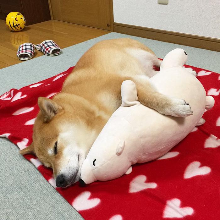 dog-shiba-inu-sleeps-teddy-bear-same-position-maru-23