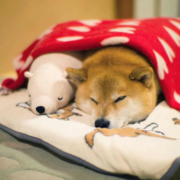 dog-shiba-inu-sleeps-teddy-bear-same-position-maru-29