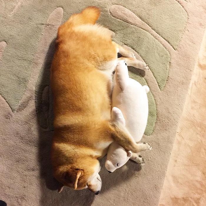 dog-shiba-inu-sleeps-teddy-bear-same-position-maru-3