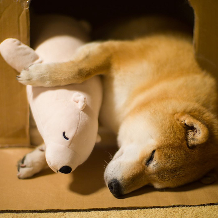 dog-shiba-inu-sleeps-teddy-bear-same-position-maru-8