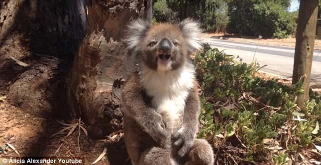 koala-8