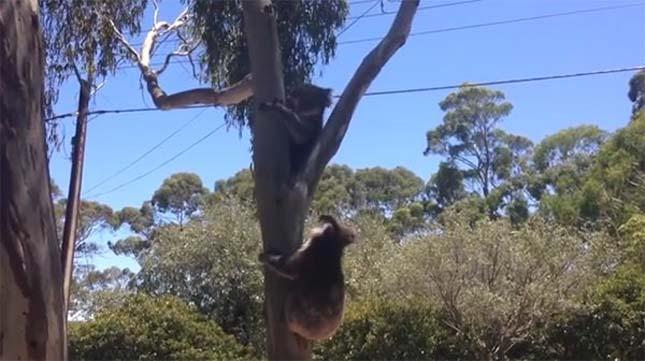 koala-9