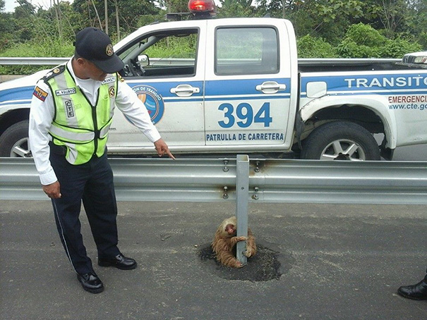 police-rescue-sloth-cross-highway-ecuador-6