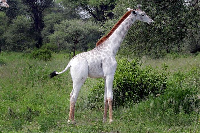 white-giraffe-leucism-albino-rare-animals-omo-tanzania-12