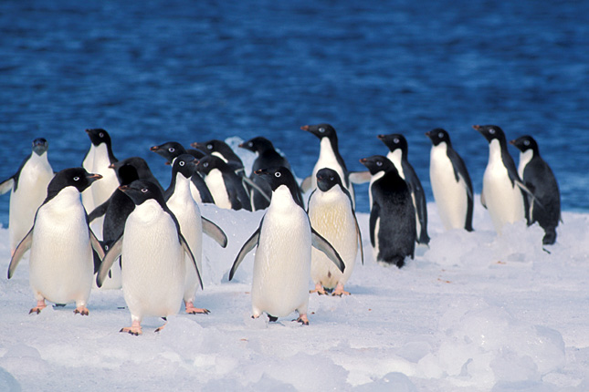 Adélie-pingvin