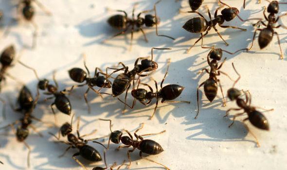 Ant-447268