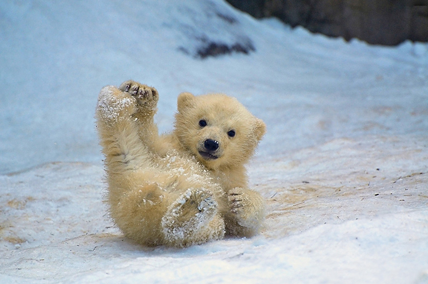 cute-baby-polar-bear-day-photography-14__880
