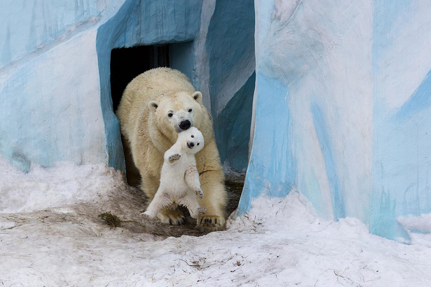 cute-baby-polar-bear-day-photography-19__880