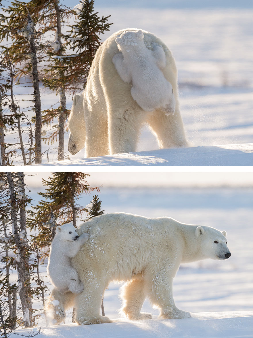 cute-baby-polar-bear-day-photography-23__880