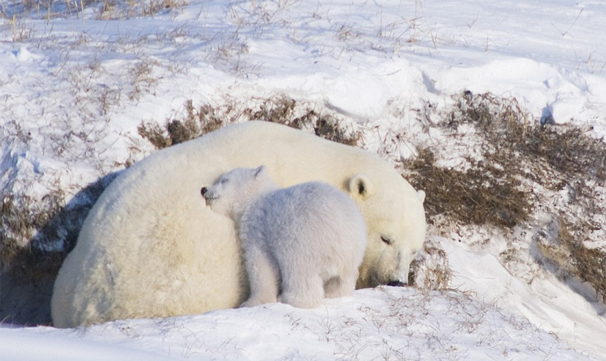 cute-baby-polar-bear-day-photography-331__880