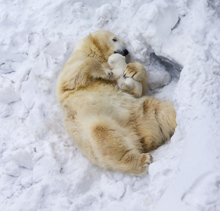 cute-baby-polar-bear-day-photography-36__880