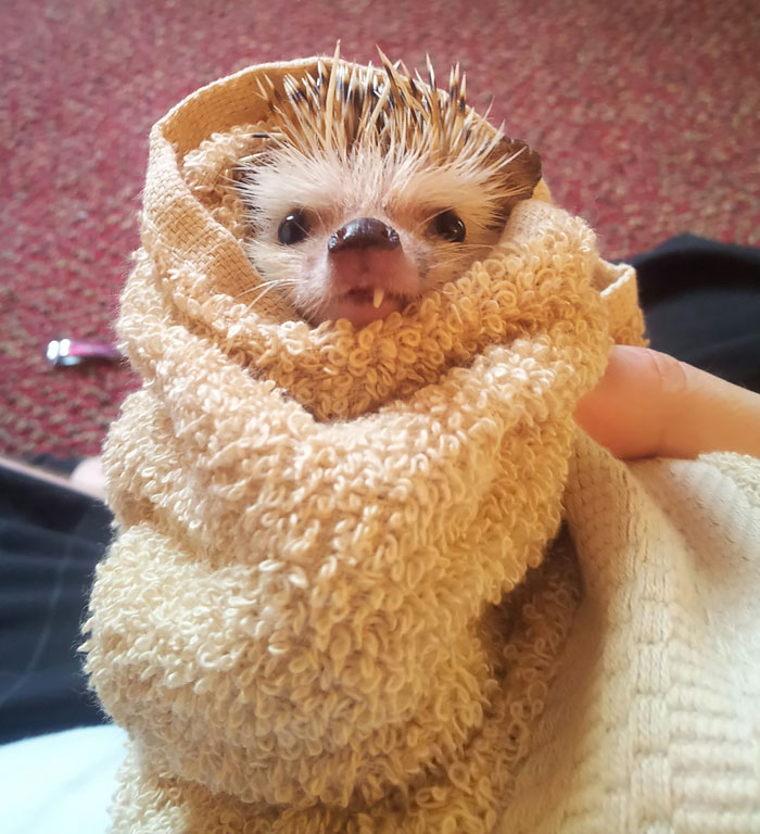cute-hedgehogs-18__700