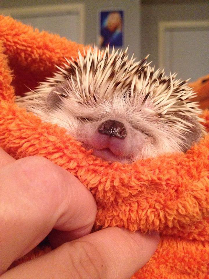cute-hedgehogs-201__700