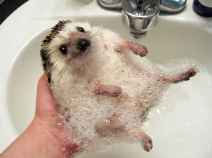 cute-hedgehogs-20__700