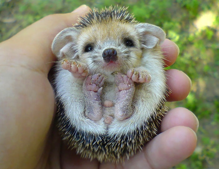 cute-hedgehogs-22__700