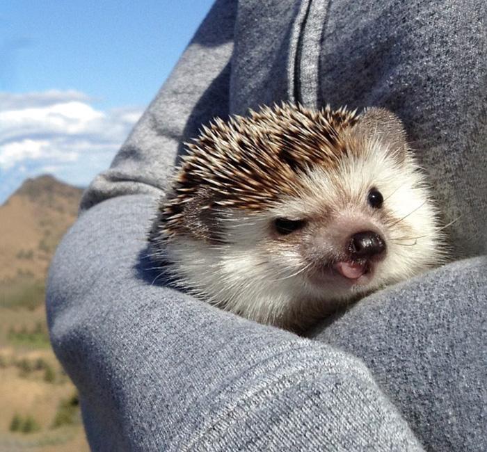 cute-hedgehogs-30__700