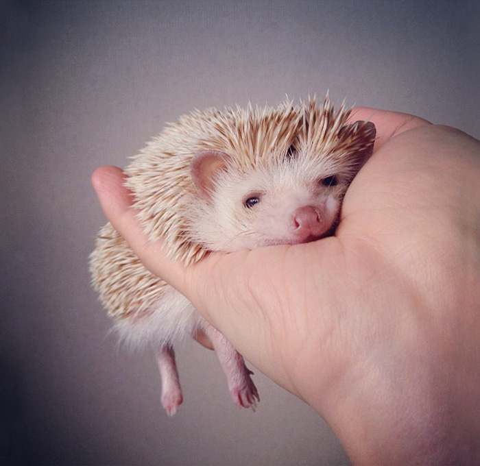 cute-hedgehogs-311__700