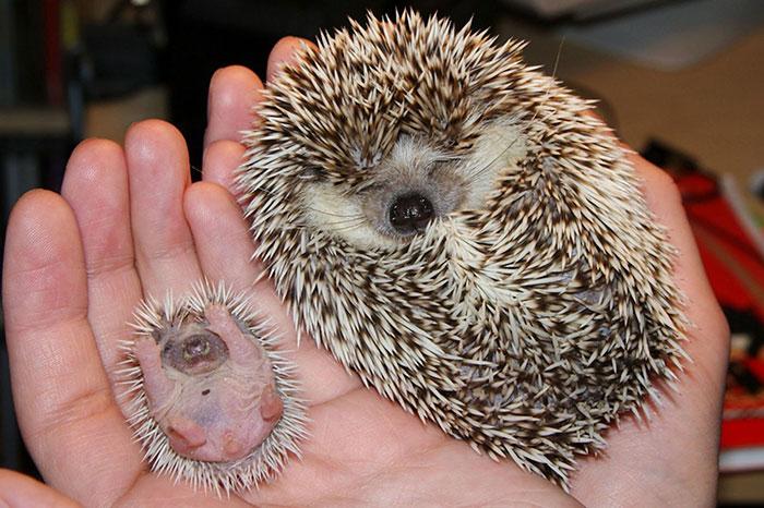 cute-hedgehogs-401__700