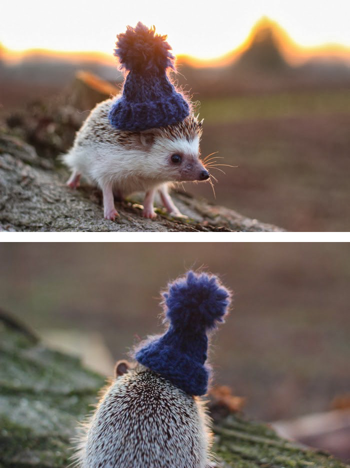 cute-hedgehogs-411__700