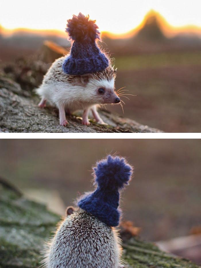 cute-hedgehogs-411__700