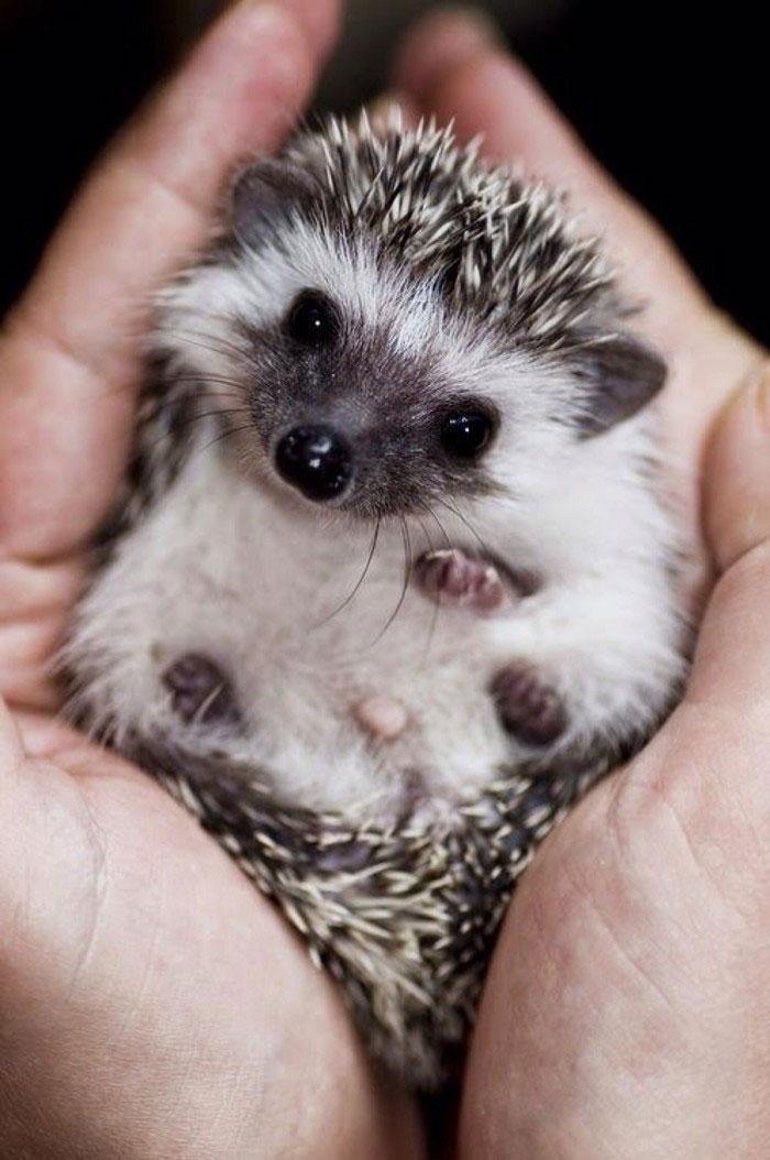 cute-hedgehogs-61__700