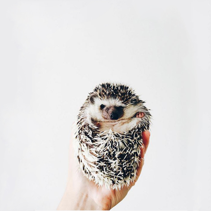 the-ordinary-lives-of-my-ordinary-hedgehogs__700