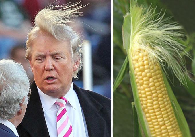 trump-kukorica