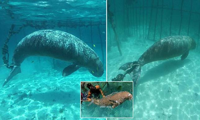 Divers Shocked To Find Animals Trapped In Cages Underwater Dugong