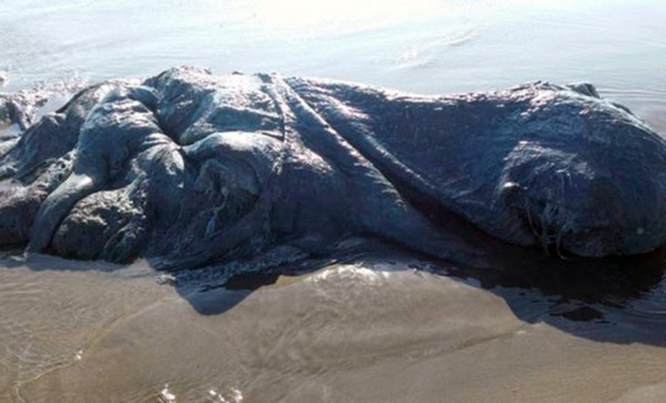 "Pic shows: The unidentified sea animal. A monstrous looking sea creature which experts are unable to identify was washed up on a popular tourist resort in Mexico. The strange 4 metre, 13 ft, long beast was found by beach-goers on the busy beach of Bonfil, in the city of Acapulco, in the southwest Mexican state of Guerrero. Stunned spectators gathered around and took photos, which they shared on social media, speculating about the possible species of the creature. The floating body was brought to the shore by strong currents, that have been affecting gthis part of the coast. Although the coordinator of the Civil Guard and Fire Brugade, Rosa Camacho,believes the animal has not been long dead. She said: ""We have no idea what type of animal this is, but I do know that it does not smell bad or have a fetid aroma. ""It is four metres long and was found on Bonfil Beach."" The photos have been seen and shared online thousands of time and provoked a debate about what kind of animal it is. Some have suggested that the creature might be a type of giant squid and others a whale. (ends)"
