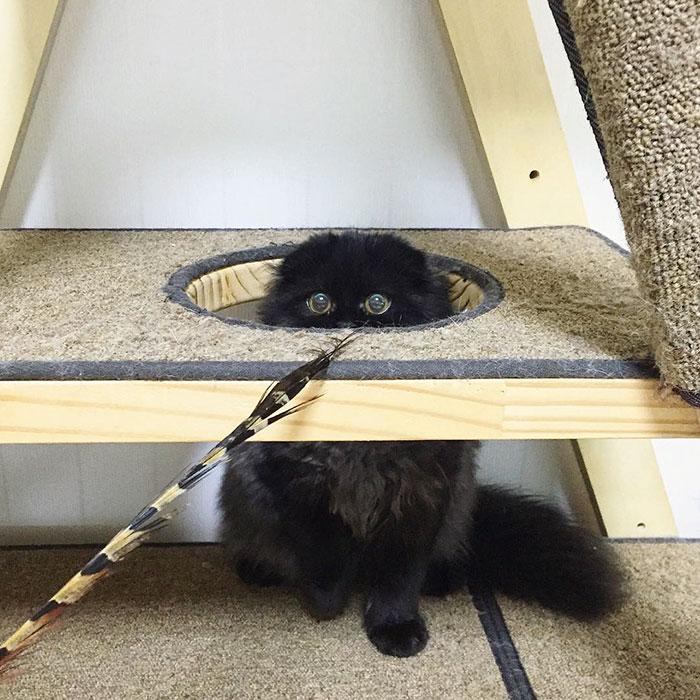 big-cute-eyes-cat-black-scottish-fold-gimo-1room1cat-113
