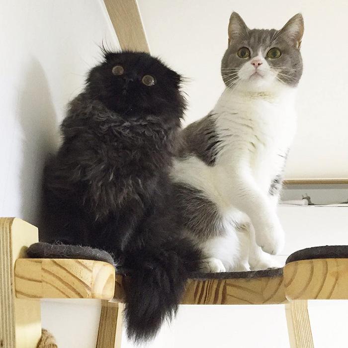 big-cute-eyes-cat-black-scottish-fold-gimo-1room1cat-40
