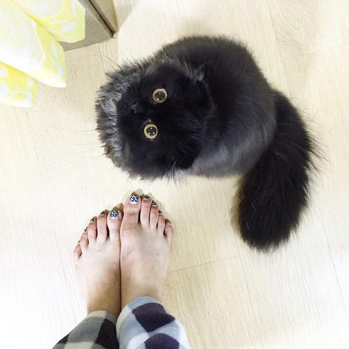 big-cute-eyes-cat-black-scottish-fold-gimo-1room1cat-421