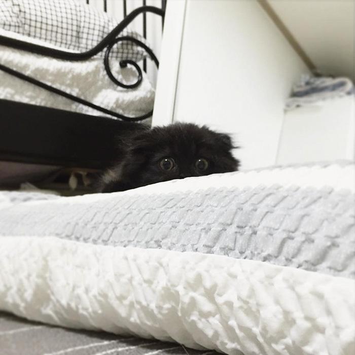 big-cute-eyes-cat-black-scottish-fold-gimo-1room1cat-46