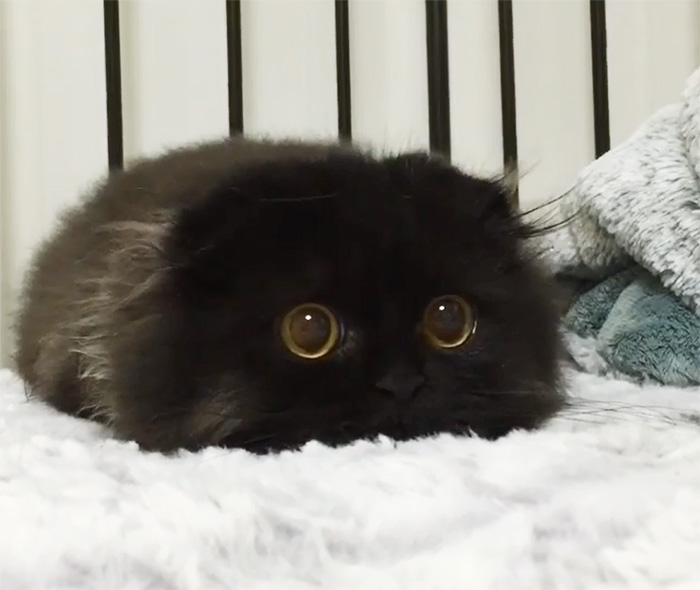big-cute-eyes-cat-black-scottish-fold-gimo-1room1cat-48
