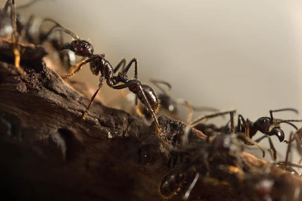 ant-487501